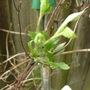 Bee_s_jubilee_new_growth_140309