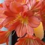 Twin Clivia flower (Clivia miniata (Clivia))