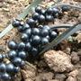 Mondo grass berries. (Ophiopogon planiscapus (Lilyturf))