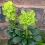 Euphorbia_front_140309