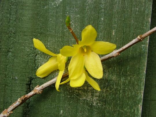 Fosythia weekend: flowers just open (Forsythia x intermedia (Forsythia))