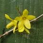 Forsythia x intermedia (Forsythia)