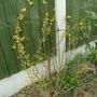 Forsythia Weekend (Forsythia x intermedia (Forsythia))