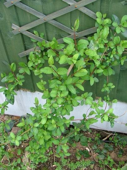 Evergreen honeysuckle