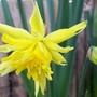 'Rip van winkle' (Narcissus)