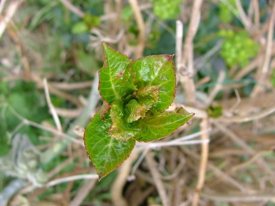 Close up of a Hydrangea bud (Hydrangea arborescens (Hydrangea))