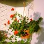 Gerânio (Pelargonium capitatum (Rose Scented Geranium))