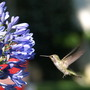 Hummingbird and Agapanthus (This is an old photo)