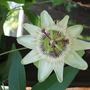 passion flower (white) (passiflora)