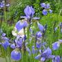 Blue Flag Iris...in bloom (blue flag iris)