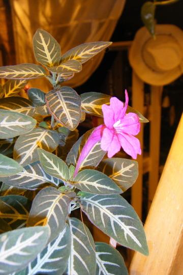 Ruellia makoyana (Ruellia makoyana)