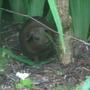 Guinea_pig_4