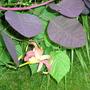 Cotinus & day lily (Cotinus obovatus)
