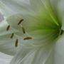 White amaryllis (detail)
