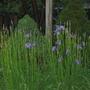 Blue Flag Iris...just starting