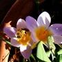 crocus botanica