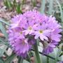 Primula_denticulata_2009