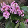 "Bergenia "" Elephants Ears "" (Bergenia purpurascens (Elephant's ears))"