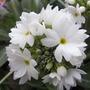 Primula_denticulata_var_alba_2009