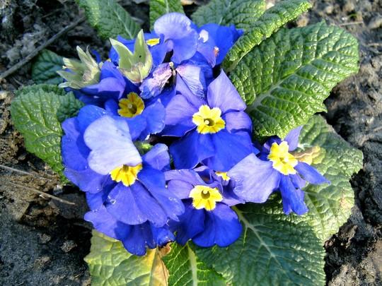 Primula 28th Feb 2008 (Primula variabilis)