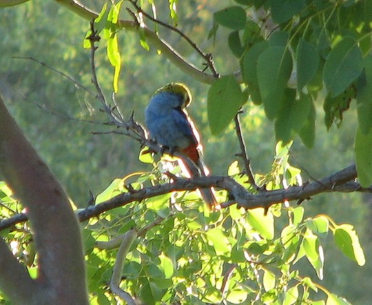 Pale-headed Rosella again.