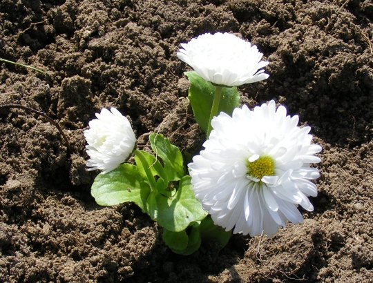 Bellis (Bellis perennis (Common Daisy))