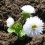 Bellis perennis (Common Daisy)