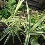 Carex_phyllocephala_sparkler_