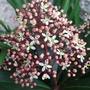 Skimmia_rubella_flower_open.