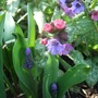 Muscari_latifolia_and_pulmonaria