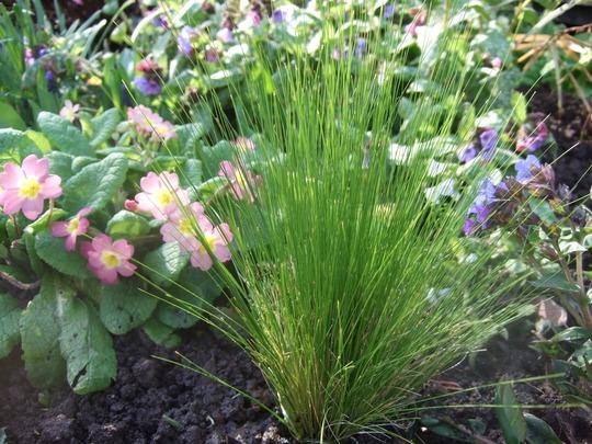 New Stipa tenuissima (Stipa arundinacea (Pheasant's tail grass))