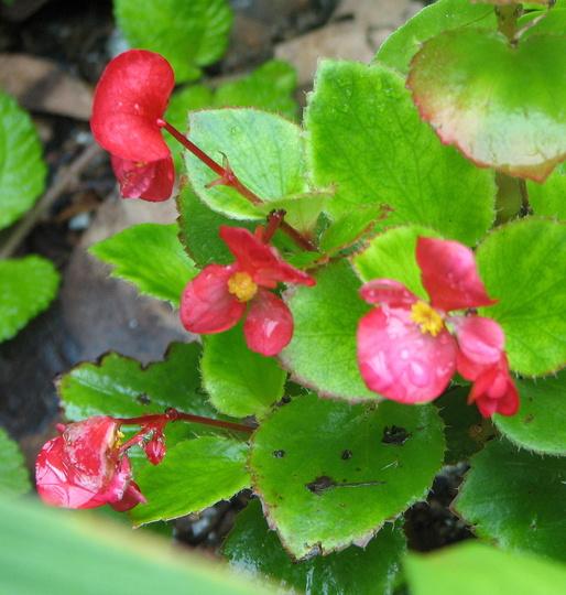 Wax Begonia or Bedding Begonia (Begonia semperflorens-cultorum)