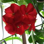 My kitchen geranium (Pelargonium hortorum)