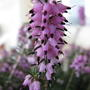 "Scottish heath (Erica carnea ""pirbright rose"")"