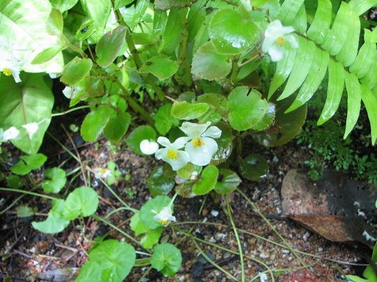 Another wax begonia found (Begonia semperflorens-cultorum)