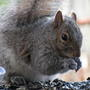 Of course, we can't forget our Grey Squirrels