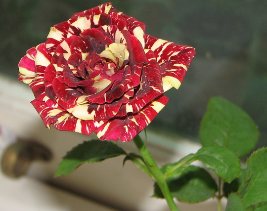 For Gilli or other rose growers - can you identify this?