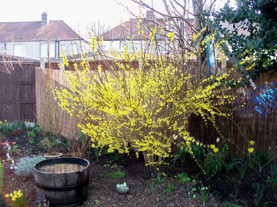 nice back drop for new water barrel (Forsythia x intermedia)