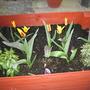 grandsons tulips.