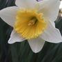 White_daffodil_2
