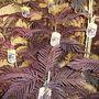 A garden flower photo (Albizia julibrissin summer chocolate)
