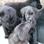 Labrador Pups..