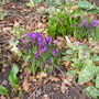 Crocus vernus (Crocus vernus)