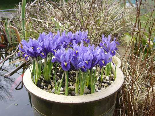 iris reticulata (Iris reticulata 'Harmony')