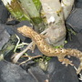 Close up of the gecko