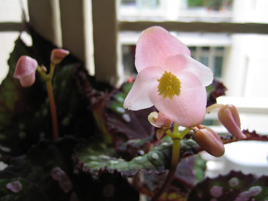 Close up of the Rex Begonia - Merry Christmas Corkscrew flowers