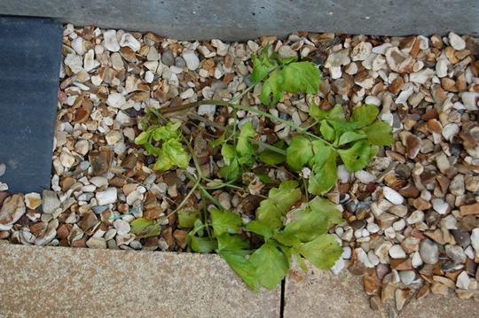 Ground elder with glyphosate weed killer (2) (Aegopodium podagraria)