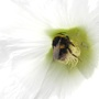 Hollyhock_with_bee