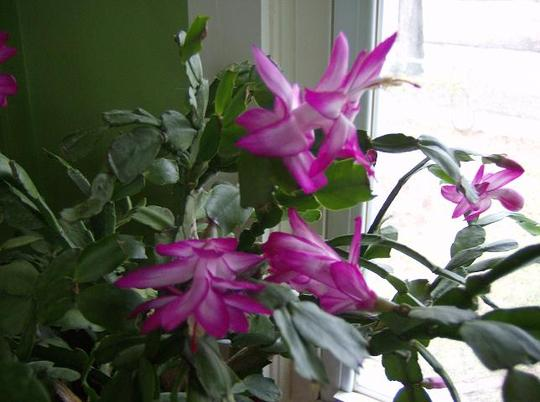 Christmas Cactus - Jolly Dancer