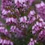 "Erica x Darleyensis ""Furzey"" heather (Erica x darleyensis)"